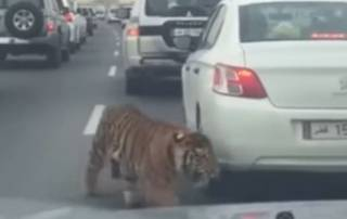 VIDEO: Just another day in Doha with an escaped Tiger
