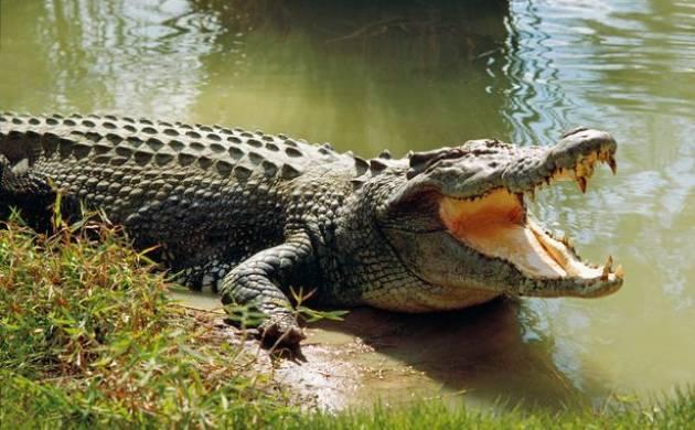Odisha: Six-year-old girl hits crocodile to save her friend (representative image)