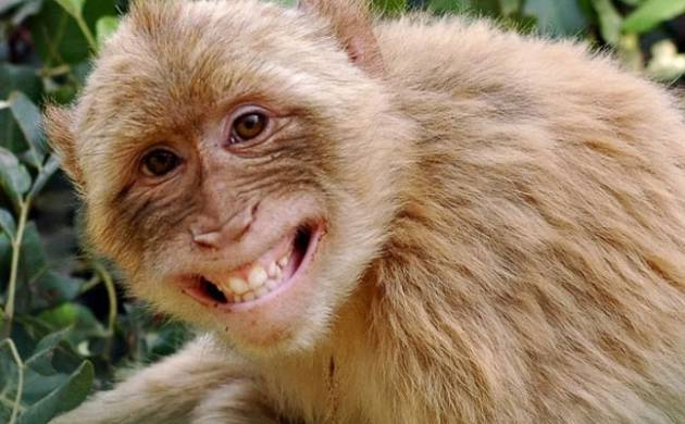 Do not mistake monkeys' expressions with 'smiles' and 'pouts', they may harm you
