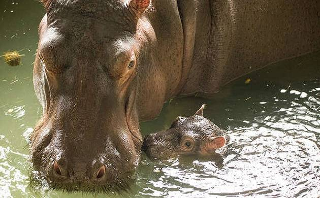 The hippo was born to parents Lola and Hoover (File photo)