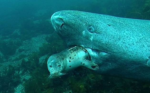 Scientists discover 512 years old Greenland shark, born in 1500s in North Atlantic Ocean (Representational Image)