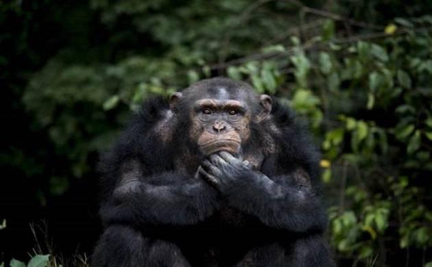 Delhi Zoo's oldest chimpanzee Rita to have a special birthday celebration