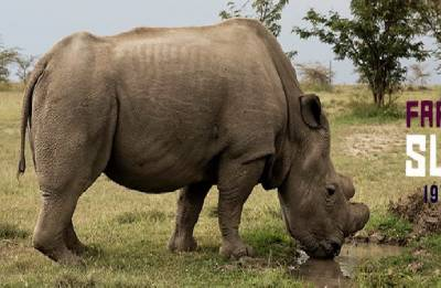 World's last northern white rhino Sudan dies at Kenya's Ol Pejeta Conservancy