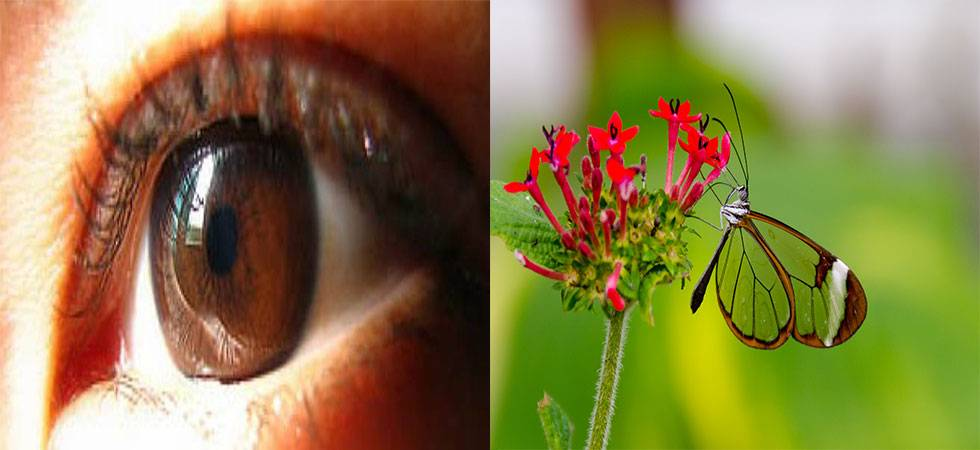 Butterfly wings inspire eye implants for glaucoma patients