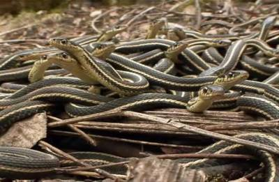 60 snakes found in school's kitchen in Maharashtra