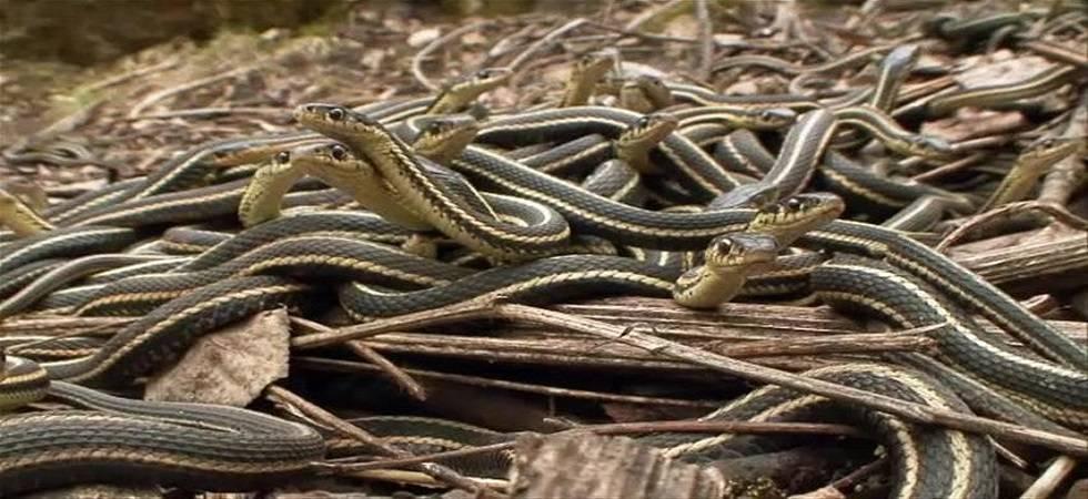 60 snakes found in school's kitchen in Maharashtra (Representational Image)