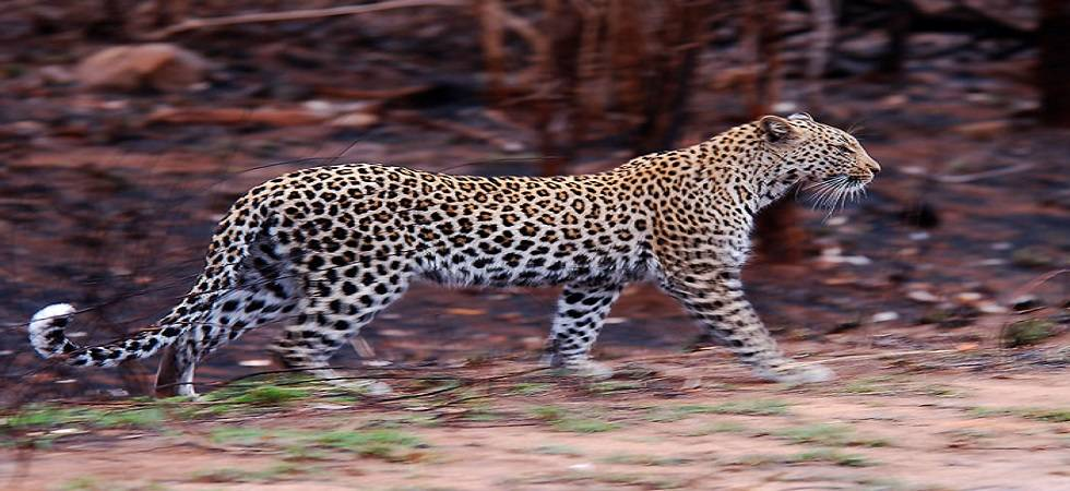 Boy rescued from leopardess' clutches by mother and grandmother (File Photo)
