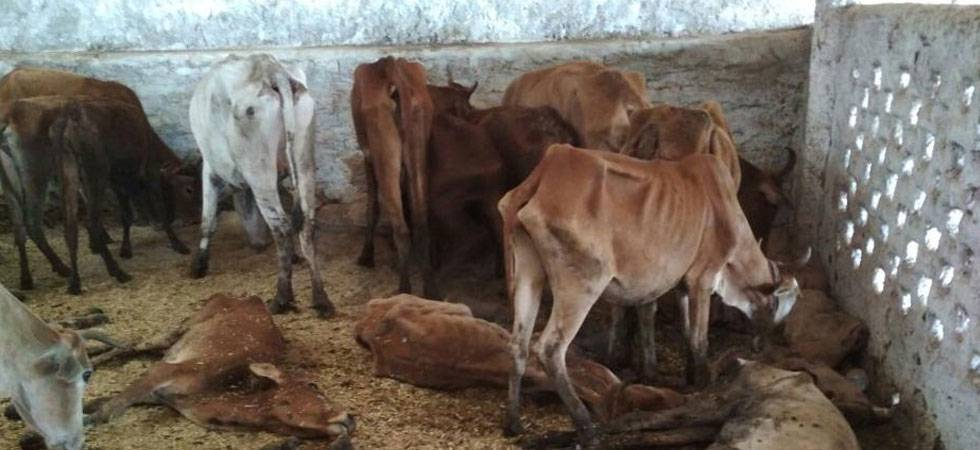 18 cows die of suffocation at shelter home in Chhattisgarh (File Photo- PTI)