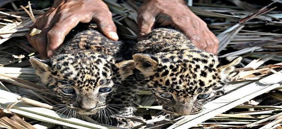 Leopard cub enters home in Maharashtra ( Photo: Twitter/@BangaloreBhumi )
