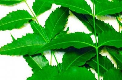 Grow neem trees for good health