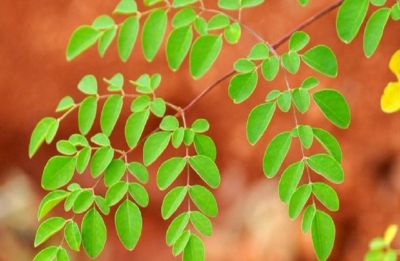 Moringa is the new superfood | Here's why
