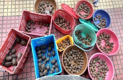Mumbai: DRI seizes over 500 endangered Indian star tortoises
