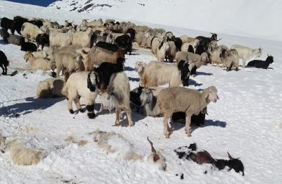 Himachal Pradesh: Shepherd dead, another 50 feared stranded due to snow in Kangra