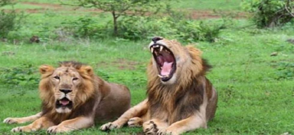 Mysterious deaths of 23 lions in Gir Sanctuary raises concern, SC probes the Centre (PTI photo)