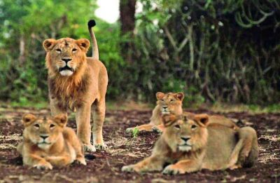 Virus which wiped out 30% lion population in East Africa responsible for Gir big cat deaths: ICMR-NIV
