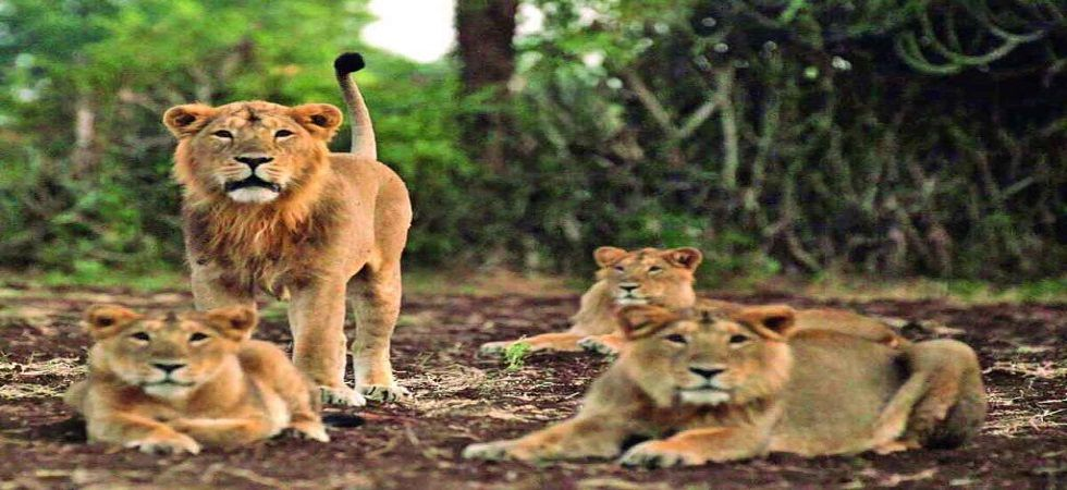 Virus which wiped out 30% lion population in East Africa responsible for Gir big cat deaths: ICMR-NIV (Photo- Twitter)