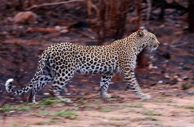Six farmers injured in leopard attack in Uttar Pradesh