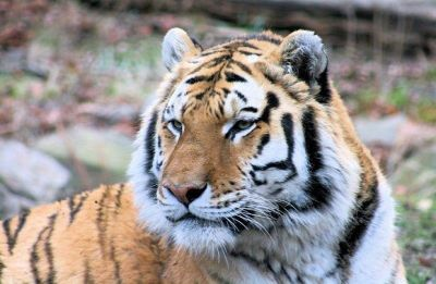 Could Calvin Klein cologne be the solution to India's man-eating tiger problems?