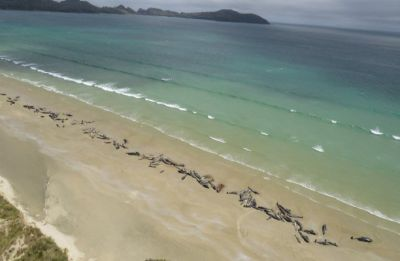 51 pilot whales die after mass stranding in New Zealand's Chatham Islands
