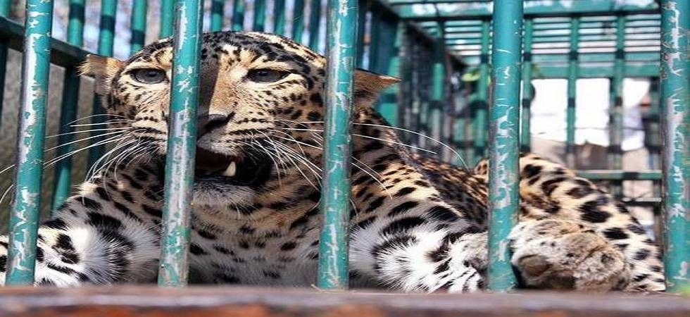 The animal was moved to the Surajpur forest nursery and will be released in the Shivalik forest in Uttar Pradesh's Saharanpur on Monday. (Photo: File photo)