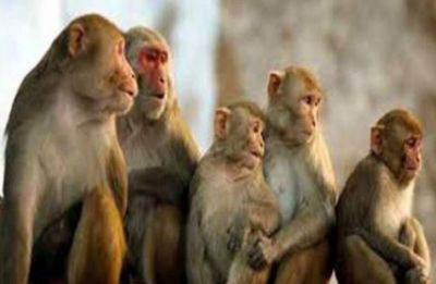 After gene-edited human babies, China clones five gene-edited monkeys for Alzheimer's research