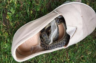Python travels 14,900 kilometres curled inside the shoe of an air traveler