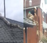 Watch VIDEO: 18-feet python slithers on garage roof in Detroit