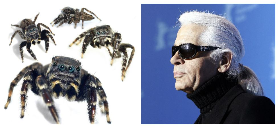 New spider species named after Karl Lagerfeld (Photo: Twitter)