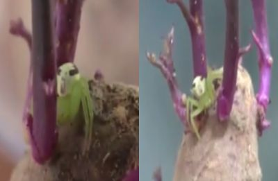 This spider with human-like face on back will creep you out, watch VIDEO