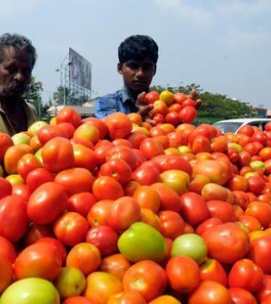 Tomato turns into red gold for farmers in Solan, HP